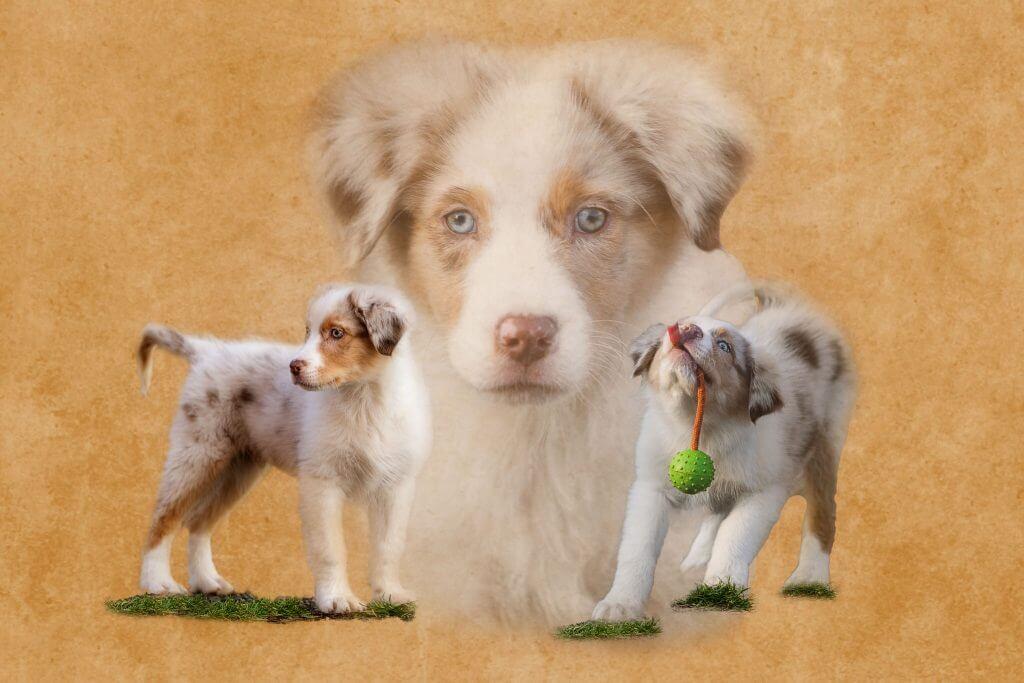 Marion-Luerkens-Collage-Hunde-Australian-Shepherd