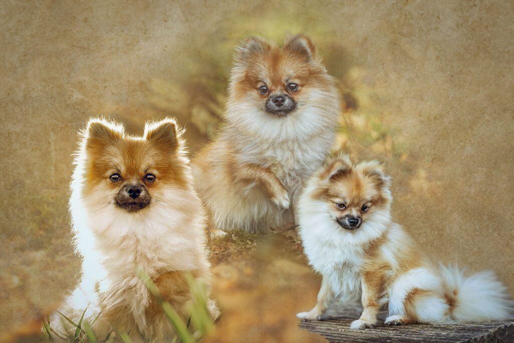 Marion-Luerkens-Collage-Hunde-Pomeranian