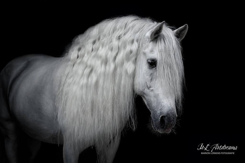 PRE-Hengst-Schimmel-spanische-Pferde