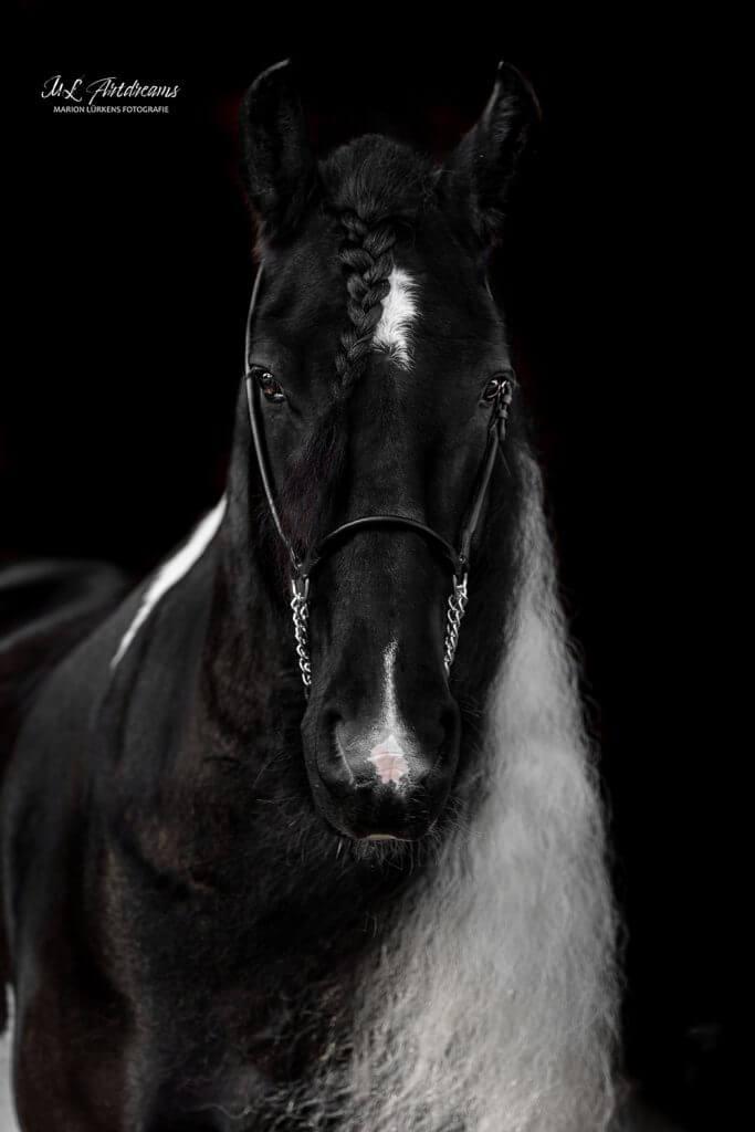 Pferde-Portrait-Barockpinto-1