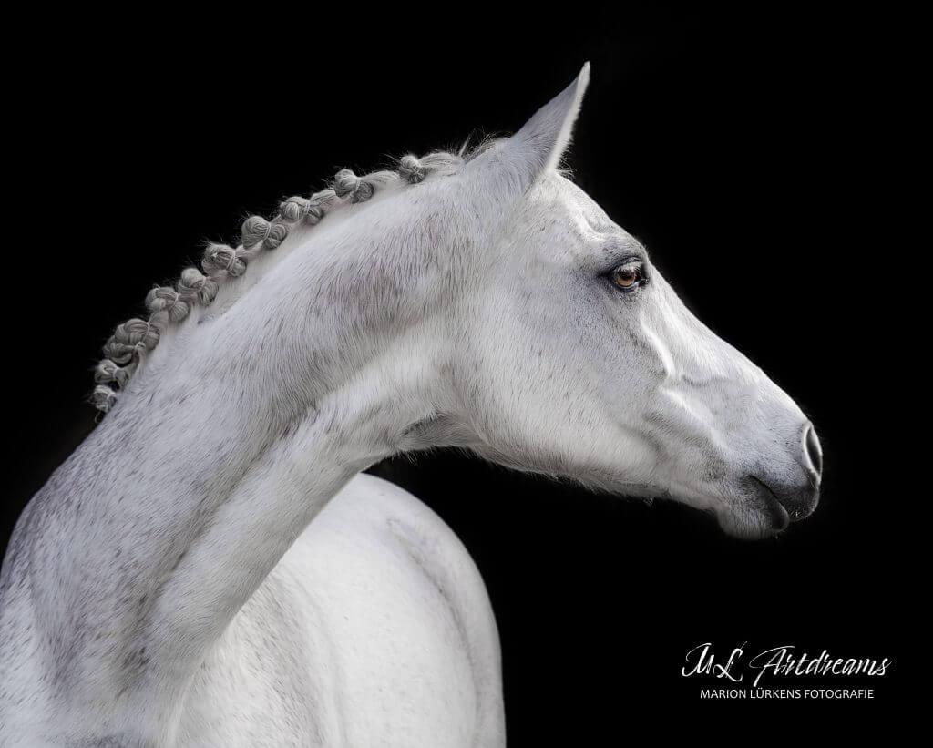 Pferde-Portrait-Schwarzer-Hintergrund-Stute-1