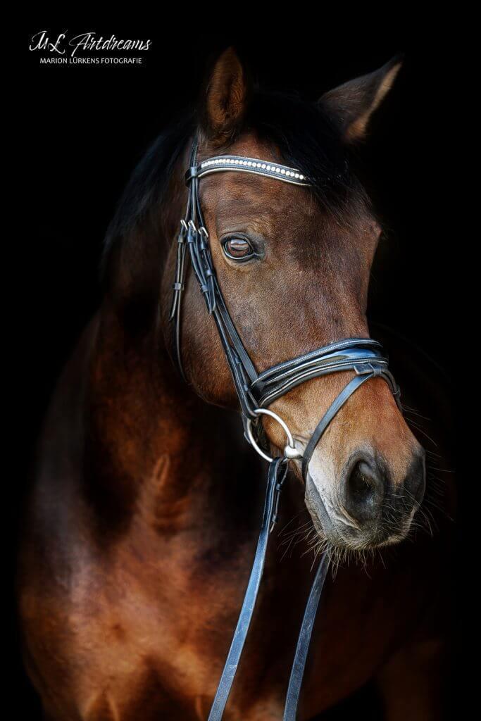 Pferde-Portrait-Warmblut-2--1
