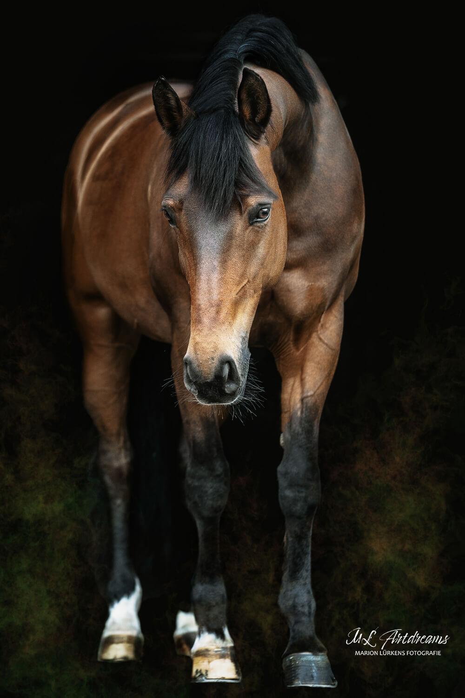 Pferde-Portrait-Warmblut-Ganzkoerper-1