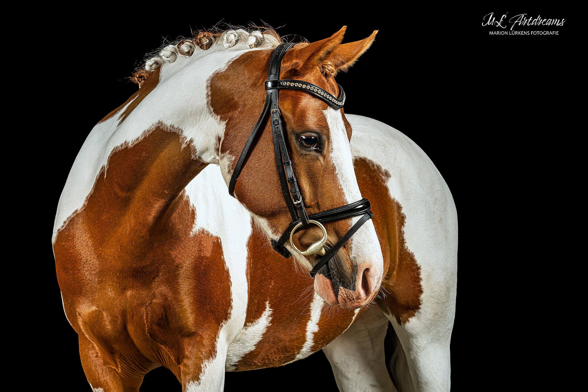 Pony-Scheckpony-schwarzer-Hintergrund