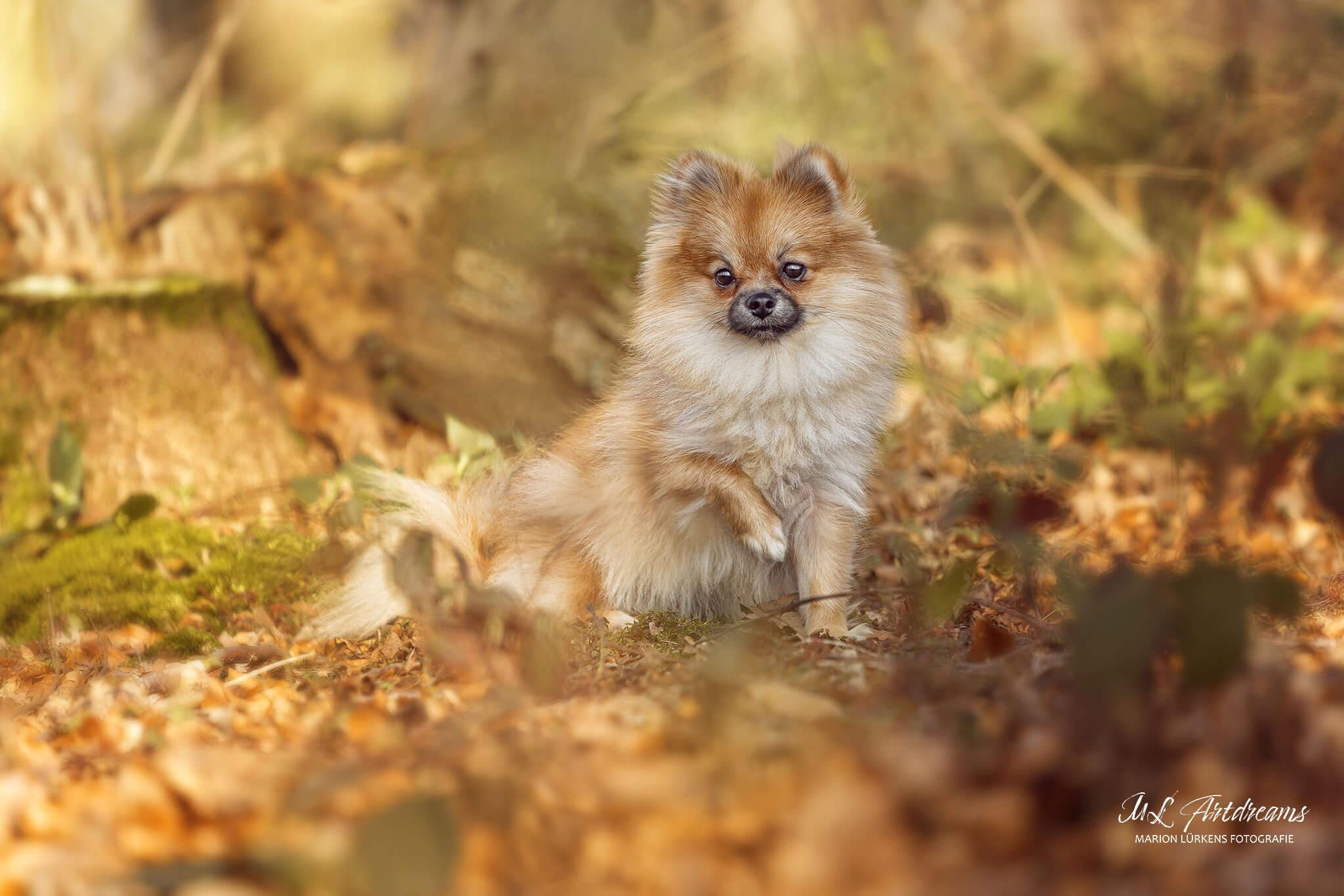 Zwergspitz-Pomeranin-Fotografenhund