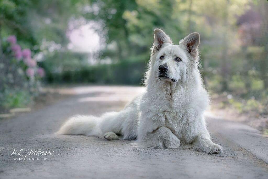 weisser-Schaeferhund