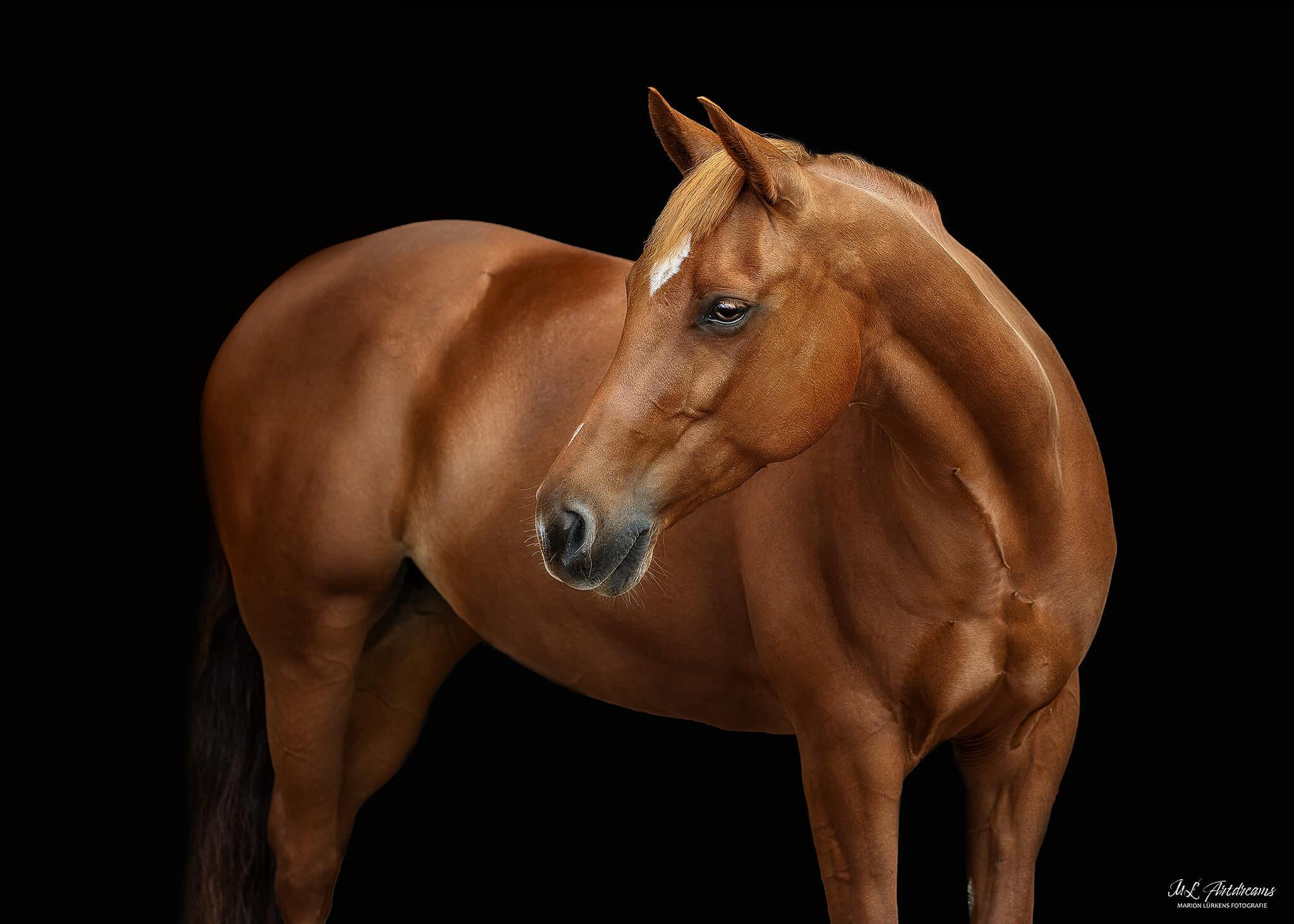 quarterhorse-stute-sorrel-reining